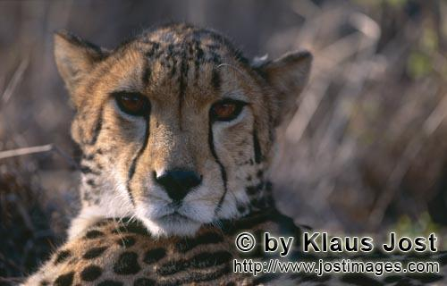 King Cheetah/Acinonyx jubatus jubatus        Eye contact with the King Cheetah         Captive