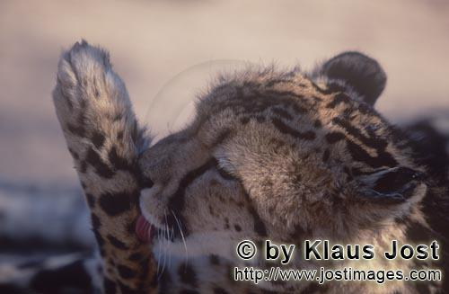 King Cheetah/Acinonyx jubatus jubatus        King cheetah licking its paw        Captive