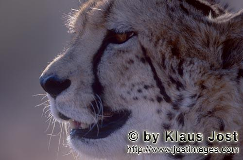 King Cheetah/Acinonyx jubatus jubatus        King cheetah portrait        Captive