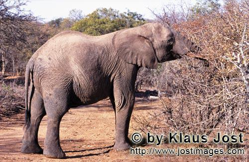 African Elephant/Afrikanischer Elefant/Loxodonta africana Elephant searches for food in the dried up bush
