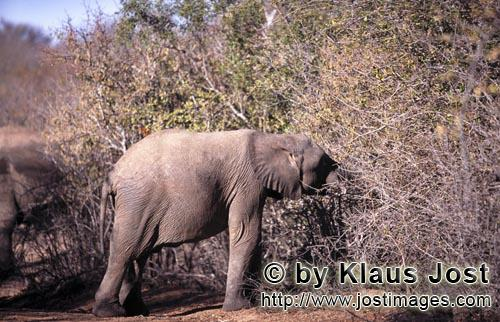 African Elephant/Afrikanischer Elefant/Loxodonta africana Young Elephant searches for food in the dried up bush