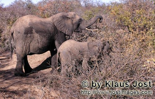 African Elephant/Afrikanischer Elefant/Loxodonta africanaMother and Baby Elephant searches for food in the bush