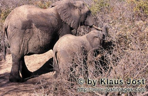 African Elephant/Afrikanischer Elefant/Loxodonta africana Mother and Baby Elephant searches for food in the bush