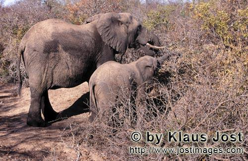 African Elephant/Afrikanischer Elefant/Loxodonta africana         Mother and Baby Elephant searches for