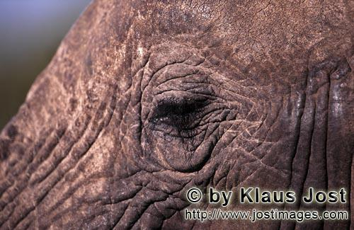 African Elephant/Afrikanischer Elefant/Loxodonta africana Close up of African Elephants eye