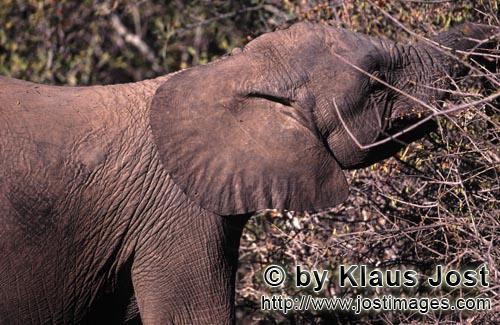 African Elephant/Afrikanischer Elefant/Loxodonta africana        African Elephant eats leaves and br