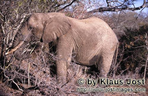 African Elephant/Afrikanischer Elefant/Loxodonta africana        African elephant on food search