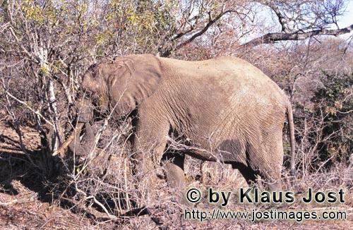 African Elephant/Loxodonta africana         African Elephant eats dry branches
