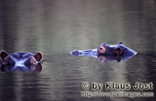 Hippopotamus/Hippopotamus amphibius        Hippopotamus near the Kapama private game reserve