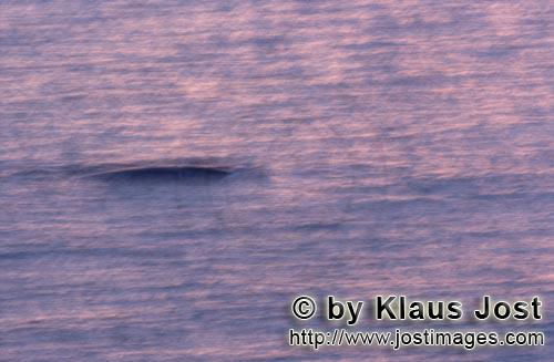 Southern Right Whale/Eubalaena australis        Southern Right Whale in the morning light