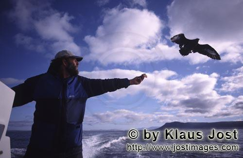 Dyer Island/Western Cape/South Africa        Andrew Hartman with Skua