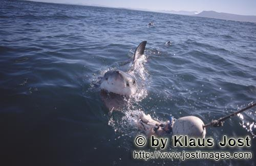 Weißer Hai/Great White Shark/Carcharodon carcharias        Great White Shark        A great whit
