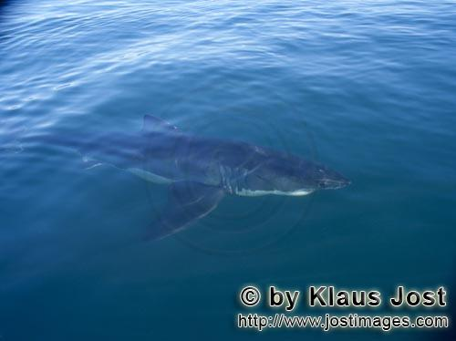 Weißer Hai/Great White Shark/Carcharodon carcharias        Great white shark close to the boat