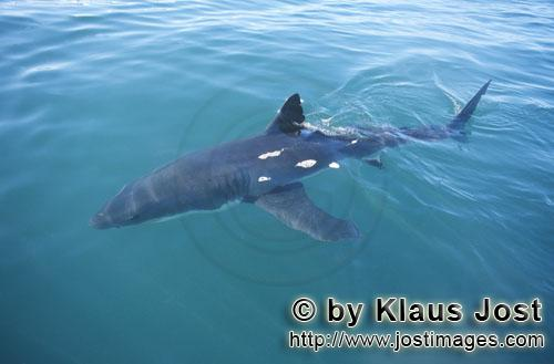 Great White shark/Carcharodon carcharias        Great white shark arrives on our boat         A g