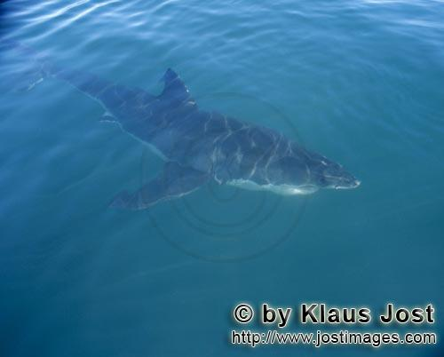 Weier Hai/Great White shark/Carcharodon carchariasWeier Hai an der Meersoberflaeche