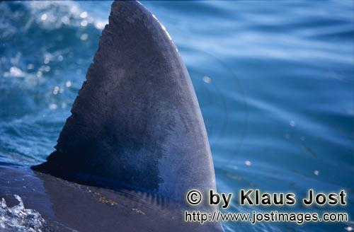 Weißer Hai/Great White shark/Carcharodon carcharias        Typical white shark dorsal fin