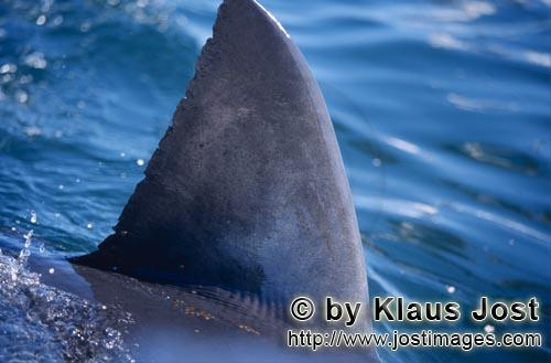 Weißer Hai/Great White shark/Carcharodon carcharias        Great white shark dorsal fin right next