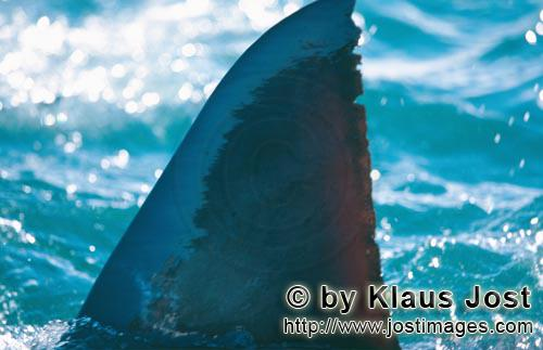 Weißer Hai/Great White shark/Carcharodon carcharias        Unique markings on Great White Shark Dor