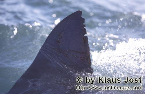 Weißer Hai/Great White shark/Carcharodon carcharias        Typical white shark dorsal fin        Si