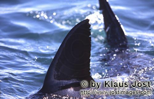 Weißer Hai/Great White shark/Carcharodon carcharias        Dorsal fin and tail fin of great white s