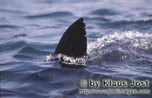 Weißer Hai/Great White shark/Carcharodon carcharias        White shark dorsal fin looking out of wa
