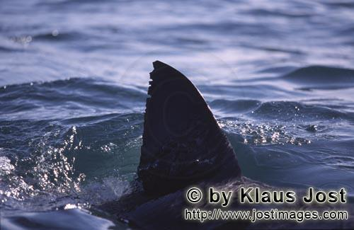 Great White shark/Carcharodon carcharias        A Great White Shark's Fin         Six sea (or nautic