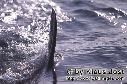 Great White shark/Carcharodon carcharias        Steel gray white shark dorsal fin cuts through the s