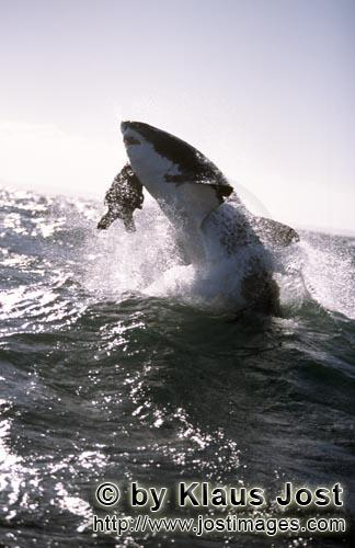 Weißer Hai/Great White shark/Carcharodon carcharias        A great white shark breaches near Seal I