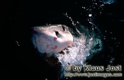 Weißer Hai/Great White Shark/Carcharodon carchariasGreat White SharkSix sea (or nautical) miles from the coast of Gansbaai, quite close to Dyer Island and Geyser Rock, a great white shark breaks through the water surface. African penguins, cormorants (or sea ravens), many other sea birds and a large colony of South African fur seals (Arctocephalus pusillus) live here. The surface hunter often finds his prey on the water surface.The super-robber great white shark with its size and strength and fearsome jaws is a permanent danger to the South African fur seals around Dyer Island and Geyser Rock. The  great white shark belongs to the family of mako sharks and has very large gill slits and long pectoral fins. The largest great white shark ever caught had a length of 6.4 meters and an estimated weight of 1500 kg.In making a surprise attack from the depths they accelerate so fast that they sometimes shoot out of the water. The jaws of the great white shark with their sharp triangular teeth in the upper jaw and the pinpointed tusks in the lower jaw are notorious and dreaded. In order to be able to catch larger prey, the upper jaw is loose (or movable) and can be pushed forward. Lost or damaged teeth are replaced without any problem for a lifetime. The great white shark is the top robber of the food chain and fulfils an important task in conserving the ecological balance in the ocean. There is very little known about their behaviour and habitat. The great white shark exists almost unchanged for millions of years and has adjusted optimally to its environment. But now there is a danger that it will be exterminated by us humans.