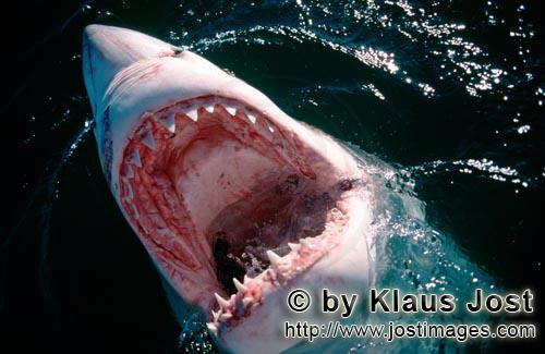 Great White Shark/Carcharodon carcharias        An intriguing look inside the mouth of the great whi