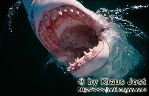Great White shark/Carcharodon carcharias        Photo of the inside of the mouth of a Great White Sh