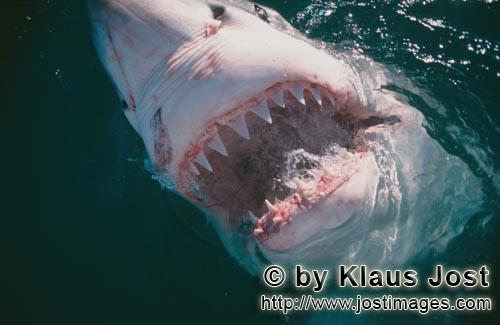 Weißer Hai/Great White Shark/Carcharodon carcharias        Teeth of the great white shark        Wi