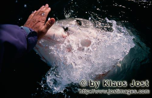 "Weißer Hai/Great White Shark/Carcharodon carchariasHand contact with the shark nose""On one occasion when Andre Hartman was in the near vicinity of Dyer Island and Geyser Rock and had anchored about six miles off the coast of Gansbaai in South Africa, a white shark came up immediately to his boat. However he wasn't interested in the fish bait, but wanted to bite the outboard motor. Andre Hartman stroked him on the nose and tried to push him away carefully. In doing so he made an unusual discovery: the white shark came out of the water further, laid his head back and opened his mouth.  As if in slow motion he poised for a moment, then returned to his own element again. By coincidence Andre Hartman discovered how the white shark reacts when he is touched in this sensitive area.  Naturally the film crew, photographers and tourists were completely enraptured and of course the other Shark Tour Operators immediately copied this. But none of them reached the perfection of Andre Hartman. Today these open-mouth activities are forbidden – quite rightly so. The white shark is not familiar with this from nature. He is being put on show, that is just like a circus trick. """