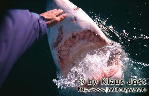 Weier Hai/Great White Shark/Carcharodon carchariasHand contact with the shark nose &quot;On one occasion when Andre Hartman was in the near vicinity of Dyer Island and Geyser Rock and had anchored about six miles off the coast of Gansbaai in South Africa, a white shark came up immediately to his boat. However he wasnt interested in the fish bait, but wanted to bite the outboard motor. Andre Hartman stroked him on the nose and tried to push him away carefully. In doing so he made an unusual discovery: the white shark came out of the water further, laid his head back and opened his mouth.  As if in slow motion he poised for a moment, then returned to his own element again. By coincidence Andre Hartman discovered how the white shark reacts when he is touched in this sensitive area.  Naturally the film crew, photographers and tourists were completely enraptured and of course the other Shark Tour Operators immediately copied this. But none of them reached the perfection of Andre Hartman. Today these open-mouth activities are forbidden  quite rightly so. The white shark is not familiar with this from nature. He is being put on show, that is just like a circus trick. 