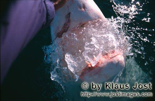 "Great White Shark/Carcharodon carcharias        ""On one occasion when Andre Hartman was in the"