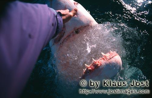 Weißer Hai/Great White Shark/Carcharodon carchariasHand contact with the shark noseOnce, as Andre Hartman anchored near Dyer Island and Geyser Rock, a Greate White Shark came right up to the boat. It was not interested in the fish bait, however, but wanted to bite the outboard. Andre Hartman touched him on the nose and tried carefully to push him back. Then, he made a remarkable discovery: the Greate White Shark came further out of the water, pulled back its head and opened its mouth. As if in slow motion, it paused for a moment, only to return to its element. By chance, Andre Hartman had discovered how the Greate White Shark reacts when it is touched in this sensitive area. Of course, the film crew, photographers and tourists were highly impressed. And, of course, the other shark tour operators imitated him straight away. These days, these open-mouth moves have been banned – and quite rightly. The Greate White Shark is not familiar with this sort of thing in nature. It is being paraded; essentially, it is a circus trick.