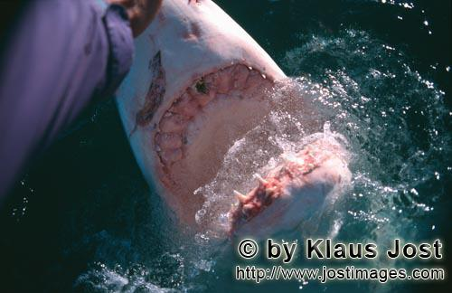 Weißer Hai/Great White Shark/Carcharodon carcharias        Hand contact with the shark nose