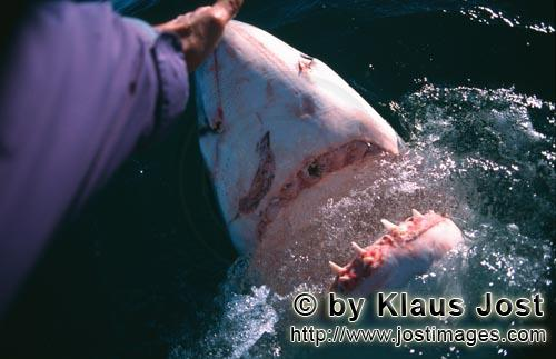 Weier Hai/Great White Shark/Carcharodon carchariasHand contact with the shark nose Once, as Andre Hartman anchored near Dyer Island and Geyser Rock, a Greate White Shark came right up to the boat. It was not interested in the fish bait, however, but wanted to bite the outboard. Andre Hartman touched him on the nose and tried carefully to push him back. Then, he made a remarkable discovery: the Greate White Shark came further out of the water, pulled back its head and opened its mouth. As if in slow motion, it paused for a moment, only to return to its element. By chance, Andre Hartman had discovered how the Greate White Shark reacts when it is touched in this sensitive area. Of course, the film crew, photographers and tourists were highly impressed. And, of course, the other shark tour operators imitated him straight away. These days, these open-mouth moves have been banned  and quite rightly. The Greate White Shark is not familiar with this sort of thing in nature. It is being paraded; essentially, it is a circus trick.