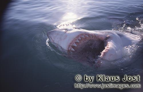Weißer Hai/Great White Shark/Carcharodon carchariasThe teeth of a Great White Shark