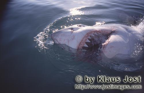 Weißer Hai/Great White Shark/Carcharodon carcharias        The Great White Shark and his sharp teet