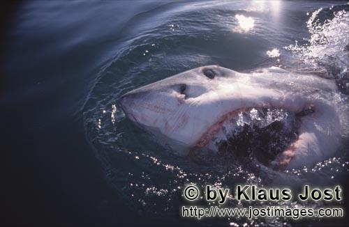 Weißer Hai/Great White Shark/Carcharodon carcharias        Great white shark breaks through the sur