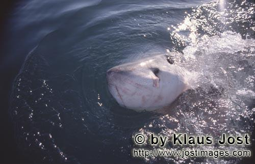 Weißer Hai/Great White Shark/Carcharodon carcharias        Great White Shark        Six sea (or nau
