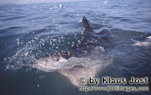 Great White Shark/Carcharodon carcharias        Great white shark with a wide open mouth