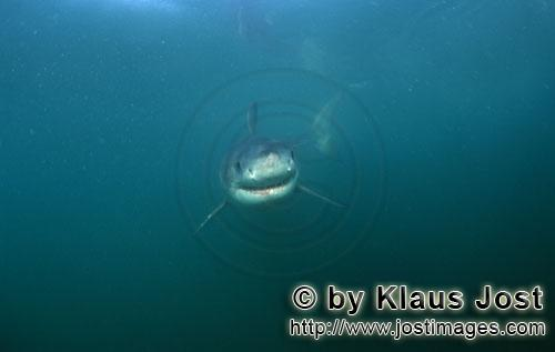 Weißer Hai/Great White shark/Carcharodon carchariasBaby Great White Shark searching for prey Six sea miles from the coast of Gansbaai, quite close to Dyer Island and Gyser Rock, a Great White Shark only a few days old is seen moving close to the water surface. Great White Sharks are fully developed after birth – at this point in time they are 1.10 to 1.60 meters long – and can take care of themselves from the start. Their nourishment consists of smaller fish and squids. Pups are very careful and vanish off the scene as soon as they see a full-grown shark. Only very few pups reach adulthood.