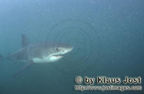 Great White shark/Carcharodon carcharias        Baby Great White Shark in the plankton-rich water</b