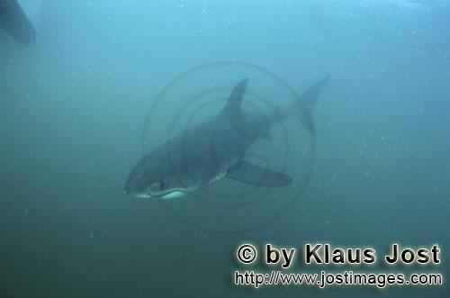 Great White shark/Carcharodon carcharias        Baby great white shark in the South Atlantic