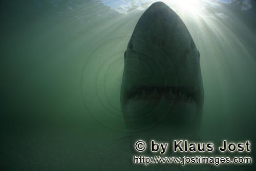 Weißer Hai/Great White shark/Carcharodon carcharias        Great white shark - a myth        A g