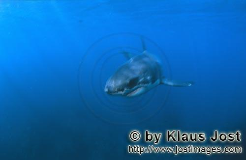 Great White shark/Carcharodon carcharias        Baby Great White Shark in the blue waters of the Sou