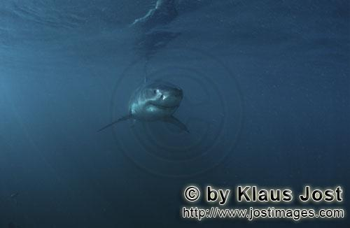 Great White shark/Carcharodon carcharias        A Baby Great White Shark         Six sea miles from