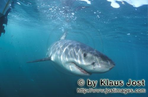 Great White shark/Carcharodon carcharias        Baby Great White Shark at close range         Six se